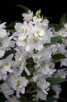 DENDROBIUM SPRING DREAM ´APOLLON´