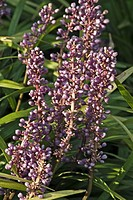 LIRIOPE MUSCARI BIG BLUE LILYTURF