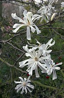 MAGNOLIA STELLATA ´ROYAL STAR´