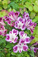 ALSTROEMERIA PRINCESS JULIETTE