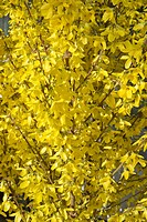 FORSYTHIA WEEKEND