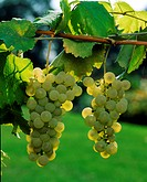 GRAPE . WHITE GRAPE GOLDEN OF FONTAINEBLEAU SEPTEMBER
