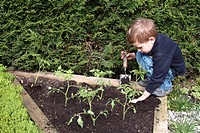 YOUNG BOY PLANTING TOMATO PLANTS FIRMING DOWN. GARDEN MAP