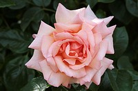 ROSA ´BELLE OF LONDON´ ROSE. HYBRID MODERN. BREEDER : HARKNESS 1974. ROSERAIE ANDRE EVE. PITHIVIERS.