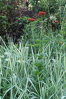 PHALARIS ´FEESEY´ GRASS. GARDEN OF YVES GOSSE OF GORRE WITH SERICOURTYARDT. PAS OF CALAIS.