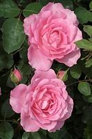 ROSA ´SYLVIE VARTAN´ ROSE. HYBRID MODERN. BREEDER : EVE 1969