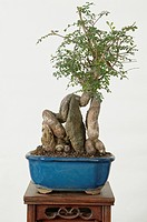 OPERCULARIA HISPIDA. BONSAI INDOOR 15 YEARS. STYLE NEAGARI. COLLECTION REMY SAMSON