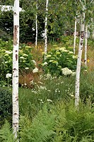BORDER WITH SHADOW : BETULA BALLAU HYDRANGEA HORTENSIA HYDRANGEA  FERN. DESIGNER : MIKE HARVEY. HAMPTON COURT. UNITED KINGDOM