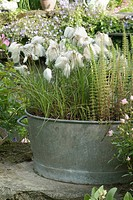 POT CONTAINER OF ERIOPHORUM ANGUSTIFOLIUM LINAIGRETTE. GARDEN ANNE_MARIE WITH LARDY. ESSONNE
