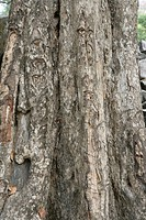 SCHLEICHERA OLEOSA OAK QUERCUS OF CEYLAN SAPINEDACEAE TREE TROPICAL BARK TRUNK ANGKOR. CAMBODGE. TEMPLE OF BENG MELEA