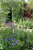 GARDEN OF COUNTRYSIDE : VERBASCUM AND IRIS