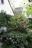 BORDER OMBRAGE. CAMELLIA JAPONICA. VIBURNUM DAVIDII. GARDEN MAP. FLOWERING MARCH/APRIL.