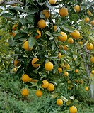 Mandarin oranges on the tree