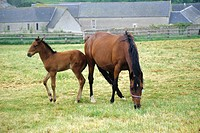 Mare and foal in the Normandy countryside of France