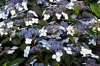 HYDRANGEA SERRATA ´BLUE DECKLE´ AT MARWOOD HILL GARDENS NORTH DEVON