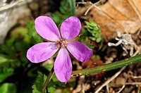 Long-beaked stork's-bill or Crane stork's bill Erodium gruinum, Crete