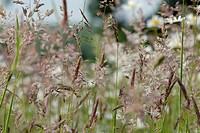 VARIOUS GRASSES IN WILDFLOWER MEADOW
