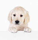Portrait of a adorable labrador puppy, standing over a white sign for your text Isolated on white