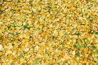 GINKGO BILOBA MAIDENHAIR TREE CONIFER