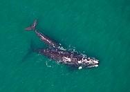 Southern Right Whale (Eubalaena australis), Peninsula Valdes, Patagonia, Argentina