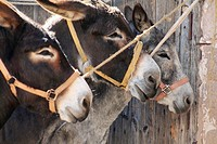 Donkeys Livestock market Mora de Rubielos Gudar mountains Teruel province Aragon Spain