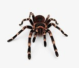 Top view of a poisonous tarantula isolated over white background