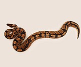 Top view of a ball python moving around over white background