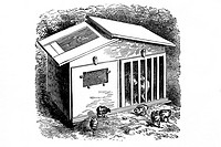 Cage hen and chicks. Illustration of an old book, 1900
