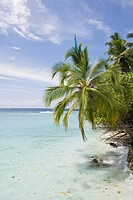 A palm tree by a beach, the Maldives.