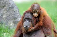Orang utan Pongo pygmaeus pygmaeus Mother with baby native to Bornéo, captive, Endangered