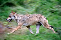 European grey wolves running Canis lupus captive, Bayerischerwald National Park, Germany