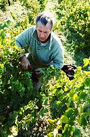 France, Tarn, Gaillac, wine producers, Bernard et Myriam Plageoles, harvest team on rose & white mauzac.
