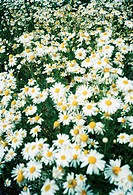 A field of marguerites.