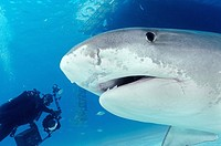 Large tiger shark comes in close, Bahama Bank, Caribbean