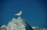 Ivory Gull, Svalbard.