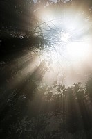 Ray of light in misty deciduous forest, Wayah Bald, North Carolina, USA.