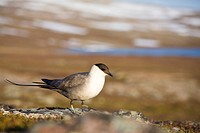 A Long_tailed Skua, Norway.