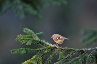 Goldcrest on a spruce, Sweden.