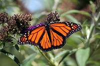 A male Monarch Butterfly, Danaus plexippus, with wings spread feeding at a butterfly bush  The male Monarch Butterfly can be identified by the black s...
