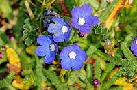 Anchusa cespitosa - White Mountains endemic flower, Crete