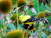 Adult male American Goldfinch eating Echinacea purpurea seeds in garden