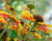 Helenium autumnale flowers reaching for the sky