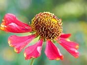 Helenium autumnale flower