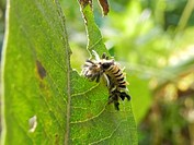 Milkweed tussok moth caterpillar, Euchaetes egle, on common milweed leaf, Asclepias syriaca