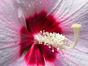 Hardy hibiscus - Hibiscus moscheutos