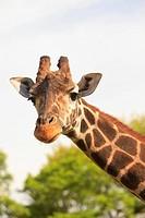 Buenos Aires, Argentina, Giraffe Giraffa Camelopardalis In Palermo Zoological Gardens
