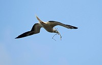 Hawaii, United States Of America, Red_Footed Booby Sula Sula Flying With Stick For Use In Nest Building
