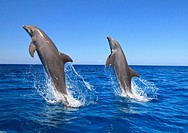 Roatan, Bay Islands, Honduras, Bottlenose Dolphins Tursiops Truncatus Jumping In The Caribbean Sea