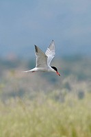 Common Tern Sterna hirundo adult, breeding plumage, in flight over grassland, Lesvos, Greece, may