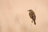 Sedge Warbler Acrocephalus schoenobaenus adult, perched on reed stem, Norfolk, England, june